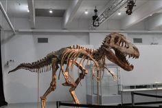 Esqueleto de um Tiranossauro Bataar é leiloado em Nova York / Noticias / Conteúdos / Iniciação - EFE Verde  @efeverde