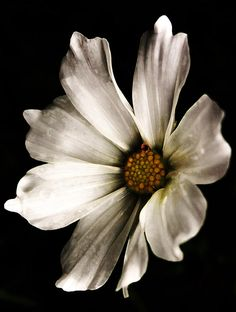 Coreopsis Photograph - Moody Bloom by Susan McMenamin Art Floral, Floral Drawing, Big Flowers, Exotic Flowers, Amazing Flowers, Flowers Black Background, Black And White Flowers, Watercolor Flowers, Watercolor Art