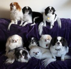 JCCARE - Japanese Chin Care and Rescue Effort