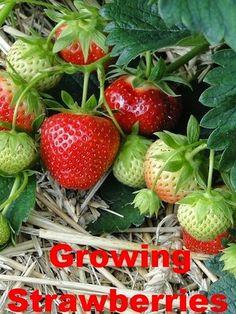 Growing Great Strawberries
