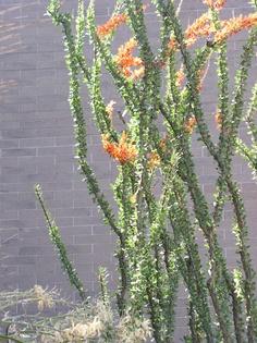 Ocotillo & Hummer. Glendale Xeriscape Garden, Glendale, AZ