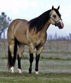 My dream horse...buckskin quarter horse