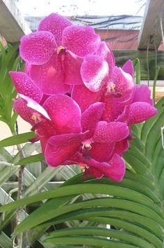 Vanda Orchids -- How to Grow Vanda Orchids: A magnificent <i>Vanda</i> hybrid. This plant's ancestors won a prestigious American Orchid Society award.