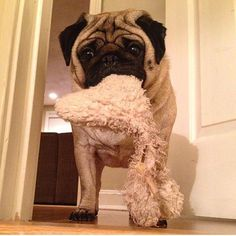 Will you play with me?   photo by @trixiepugworld by pugbasement