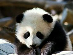 Another baby panda. oh so exciting. So, apparently i do panda& and sunsets. Panda Images, Giraffe, Elephant, Panda Funny, Wild Lion, Funny Cartoons, Zebras, Funny Babies, Lions