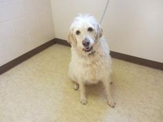 Gracie is an adoptable Labrador Retriever Dog in Bowling Green, OH. Adoption Policy All of our dogs are $75.00 Included in that price is a $50.00 certificate, which goes towards getting the dog spayed...