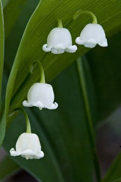 "Lily of the Valley also means Return of Happiness in the"" language of flowers"" .   Finding Lily of the Valley in the Botanical Gardens in K..."