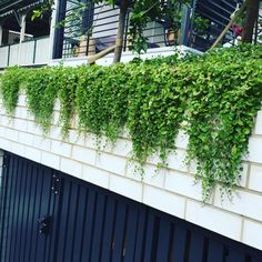 Love how native Dichondra repens gently cascades. Looks great over a retaining wall to soften the wall support or use as a living mulch in a large pot plant. . . . . . . . #dichondra #planttiles #nativeplants #groundcover #retainingwalls #garden #gardenideas #landscaping #greenwall #urbangarden Ground Cover Plants, Large Pots, Plant Wall, Native Plants, Potted Plants, Nativity, Looks Great, Australia, Landscape