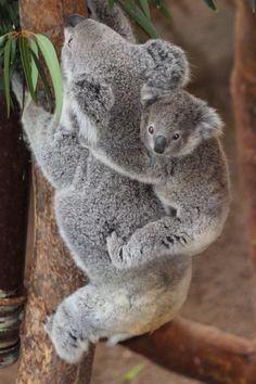 Mummy koala and baby koala, so cute xx                                                                                                                                                                                 More