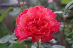 Sedona Hybrid Tea Rose | Sedona Hybrid Tea rose | A Rose Garden | Pinterest