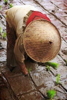 Planting rice . Vietnam
