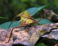 Small leaf katydid (Typophyllum sp, Pseudophyllinae), Peruvian Amazon by artour_a, via Flickr