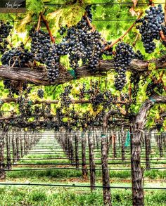 "My Happy Place is ""Hang Time"" in Napa Valley - Captured at Gamble Family Vineyards Napa Valley, California Wine, Grape Vineyard, Barolo Wine, Sangria Wine, Virginia Wineries, Wine Vineyards, Vides, Raised Beds"