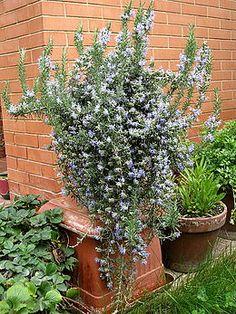 Rozemarijn (plant) - Wikipedia