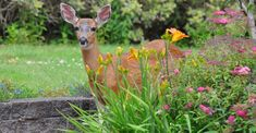 Top 10 Deer Resistant Plants for Your Garden | My Garden Life Deer Resistant Flowers, Deer Resistant Perennials, Planting Bulbs, Planting Flowers, Deer Repellant, American Meadows, Butterfly Weed, California Poppy, Wildflower Seeds