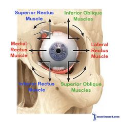 Agonist & Antagonist muscles of the Eyes