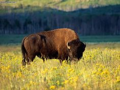 I'd like to picture nature somewhat like the pioneers did and see bison at the Grand Teton National Park. Grand Teton National Park, Yellowstone National Park, National Parks, National Trust, World Wild Life, Buffalo S, Native American Flute, American Bison, Mundo Animal
