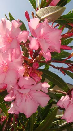 Pretty blossoms on an Oleander Tree - grown a lot in Queensland - sap and leaves are poisonous - need pruning from time to time to keep lovely shape.