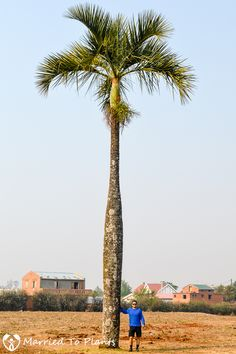 Dypsis decipiens outside Ansirabe