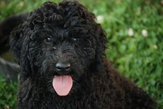 Barbet / French Water #Dogs #Puppy