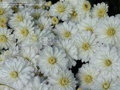 PlantFiles Pictures: Chrysanthemum, Garden Mum, Florist's Mum 'Frosty Igloo' (Chrysanthemum x grandiflorum) by DaylilySLP Bright Flowers, Fall Flowers, Garden Mum, Chrysanthemum, Seeds, Plants, Pictures, Color, Glitter Flowers