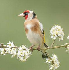 Chaffinch, Goldfinch, How Beautiful, Take That, Birds, Nature, Instagram, Zebra Finch, Finches