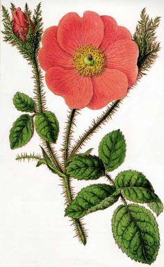 Botanical illustration of Moss Rose (rosa centifolia muscosa) by Sydenham Edwards c.1800.