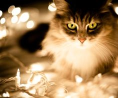 Holiday Card Ideas - Cat Wrapped in Lights