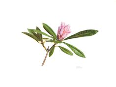 "31 x 41 cm unframed<br/> Rhododendron ""Christmas Cheer"" in bud<br/><br>Original available</br>"