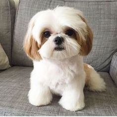 Shih Tzu History And It's Interesting Origins 9 - Hunde - Puppies Cute Baby Dogs, Cute Little Puppies, Cute Dogs And Puppies, Cute Little Animals, Baby Puppies, Cute Funny Animals, Doggies, Funny Puppies, Shih Tzu Hund