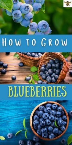 Want backyard blueberries? You can grow your own blueberries right in your own backyard! Learn how to prepare the soil for blueberries, where to plant blueberries in your yard and more! #growbackyardblueberries #backyardblueberries #growblueberries #howtogrowblueberries Sustainable Gardening, Organic Gardening Tips, Organic Fertilizer, Gardening Hacks, Gardening For Beginners, Amazing Gardens, Beautiful Gardens, Grow Your Own Food, Growing Vegetables