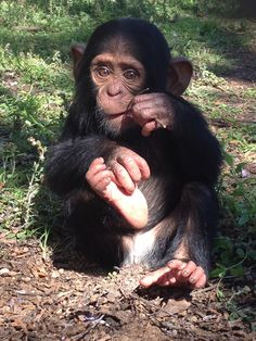 Most loveable Thabu!  He's 10 months old now and made ground breaking history with his birth caught on webcam footage.  Check it all out at Chimp Eden... http://www.chimpeden.com/