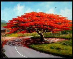 This is a flamboyan tree. They say when it's blooming young women leave their houses, marrying their novios (boyfriends). Here in the cou. Delonix Regia, Blooming Trees, Flowering Trees, Beautiful Islands, Beautiful Places, Caribbean Art, Red Tree, Colorful Trees, Tree Forest