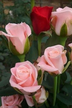 A lone red rose amongst pink long-stemmed ones! Beautiful Rose Flowers, Flowers Nature, Exotic Flowers, Amazing Flowers, My Flower, Beautiful Flowers, Pink Roses, Pink Flowers, Pale Pink