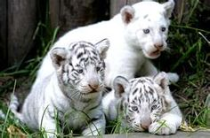 Image Search Results for endangered animals