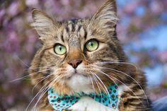 Cat in Bowtie ♥