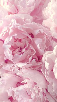Peonies Wallpaper For Your Iphone 6 Plus From Everpix