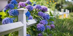13 Facts Every Hydrangea Enthusiast Needs To Know  - CountryLiving.com