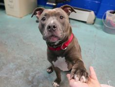 PARKA - A1107687 - - Brooklyn  TO BE DESTROYED 04/18/17  A volunteer writes: The first thing I noticed about sweet little Parka was the white glove she wears on her right paw, a lá Michael Jackson (all she's missing is sequins!). The second thing I noticed was how calm, quiet, and sweet she was in her cage. She walks very easily next to me on her leash, staying right next to me. At first, I thought it was just because she loved me so much, but I realized quickly that