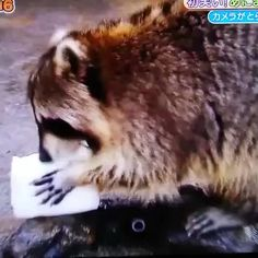 Raccoon washes his cotton candy and is devastated.