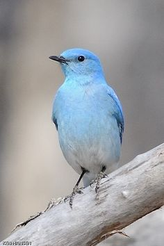 Blue Bird of Happiness ♡