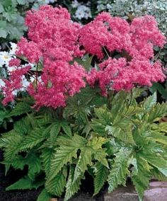 """Meadowsweet PERENNIAL/ATTRACTS: Butterflies. """"Filifendala"""" (FILIPENDULA PURPUREA) best. Plant with Peas which attract Mourning Doves. Likes wet squishy, soggy soil. Plant around wooden posts. Plant in groups of 3 or 5. Great planted by streams or springs. """"Red"""" best. Grows quickly. Wind resistant. Sturdy."""