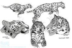 kalamboart:  studies for a commission i'm working on. Mostly jaguars and one leopard (bottom left) :D