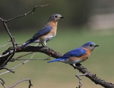 We have a couple of blue birds living in one of our birdhouses this year. They truly are beautiful.