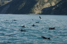 Pod of dusky dolphins on a whale watching trip in #Kaikoura
