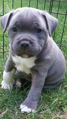 Who could say no to this gorgeous little blue and white staffie puppy