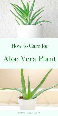Aloe Vera is a low-maintenance succulent that can be grown both indoors and outdoors. This indoor succulent has many uses but it's also aesthetically interesting and can be used to modernize any space Aloe Vera Plant Indoor, Aloe Plant Care, Snake Plant Care, Indoor Plants, Garden Care, Veg Garden, Indoor Garden, Begonia, Aloe Vera Care