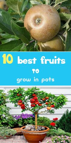 Best Fruits To Grow In Pots - PRESENT: growing fruit in your own home is an easy way to live more sustainably - Food Garden, Organic Gardening Tips, Container Gardening, Fruit Garden, Potted Trees, Plants, Fruit Trees, Organic Gardening, Container Gardening Vegetables