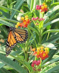 We have always had Milkweeds in Florida, and we have always had Monarchs. What a glorious combination!  Google Image Result for http://www.joyfulbutterfly.com/articles/articleimages/monarchtropicalmilkweed.jpg