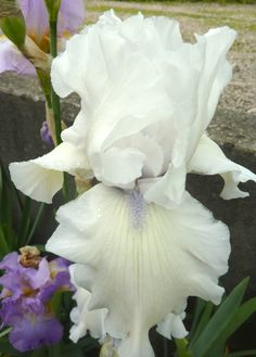 Tall Bearded Iris germanica 'Hohneck Paradise'